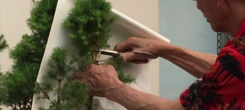 How to Prune a Picea Group