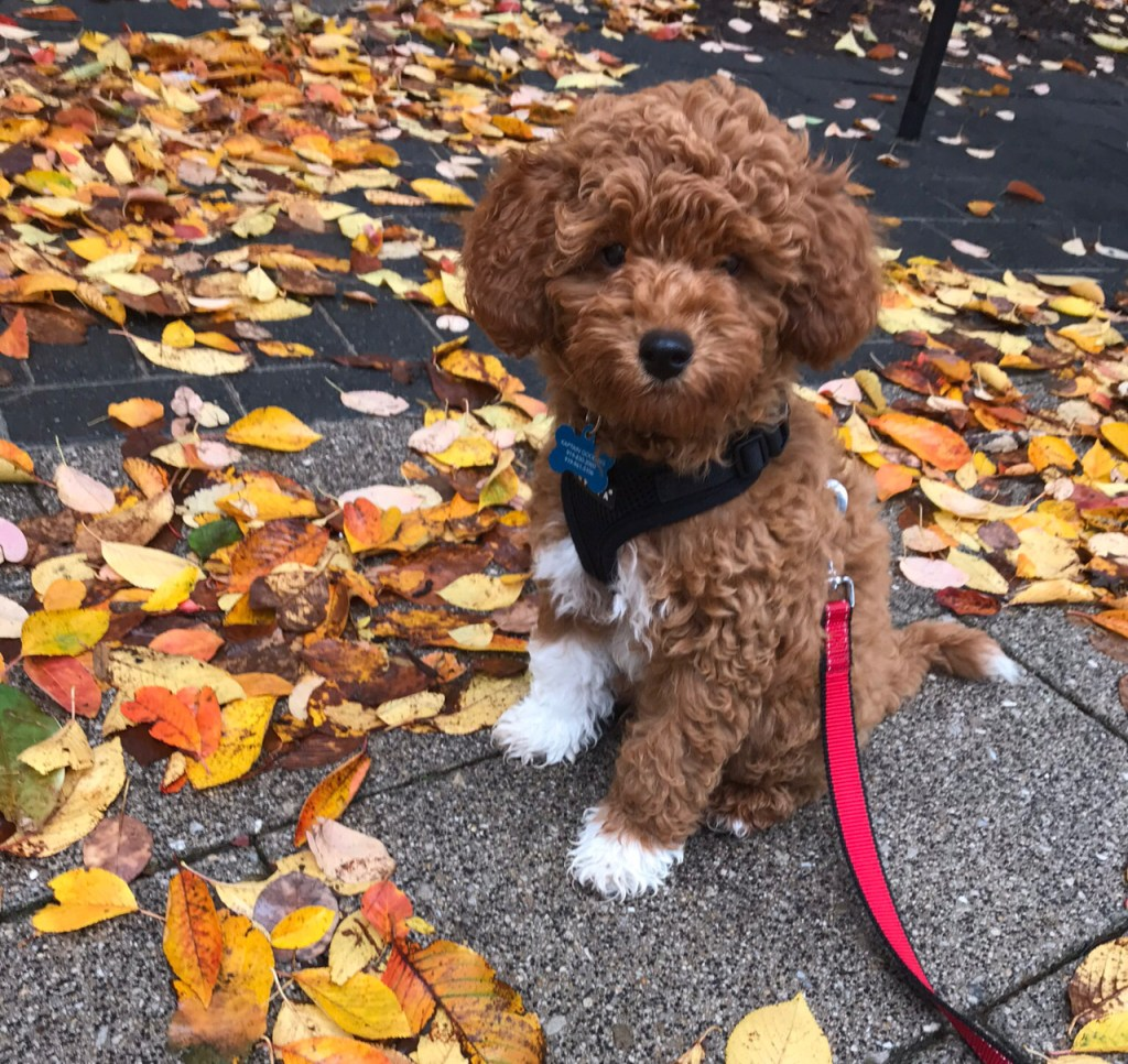 Cavapoo Puppy in leaves