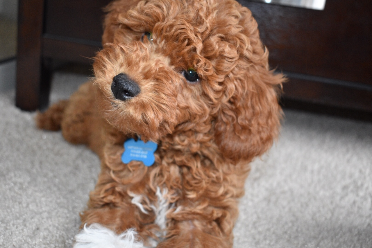 Cavapoo Puppy laying down