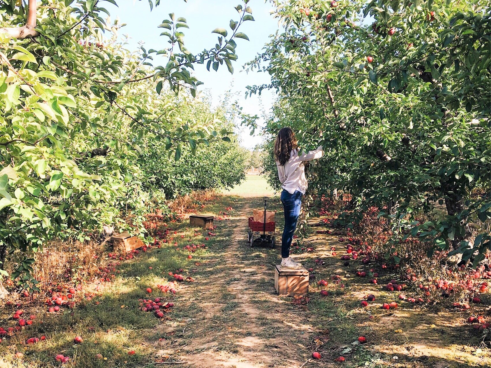 Apple Picking in Bowdoin, Maine - Rocky Ridge Orchard