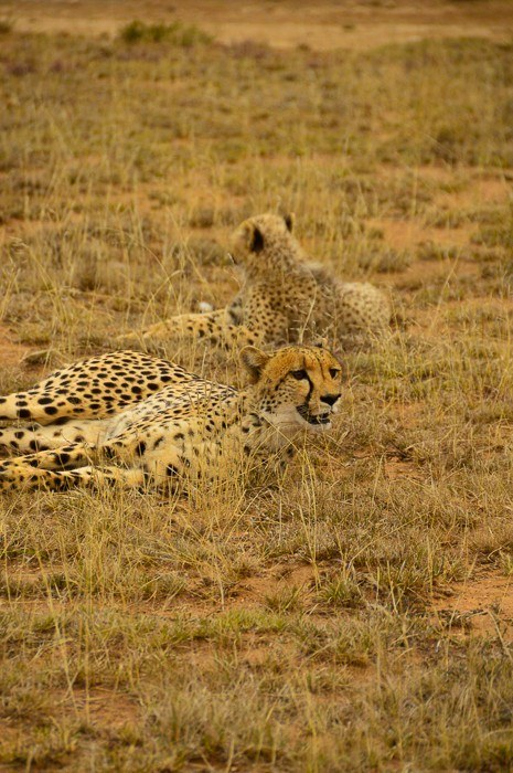 one cheetah looking forward and the back of another cheetah lying in the brush
