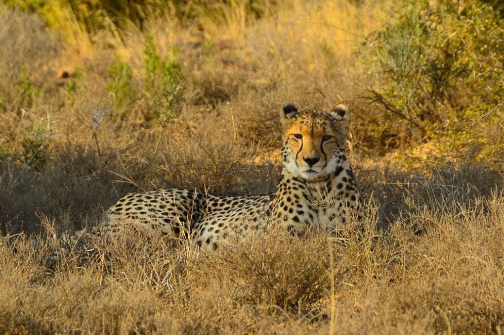 cheetah sitting down in the brush