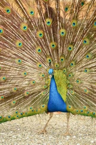 austria_graz-schloss-egggenberg-peacock