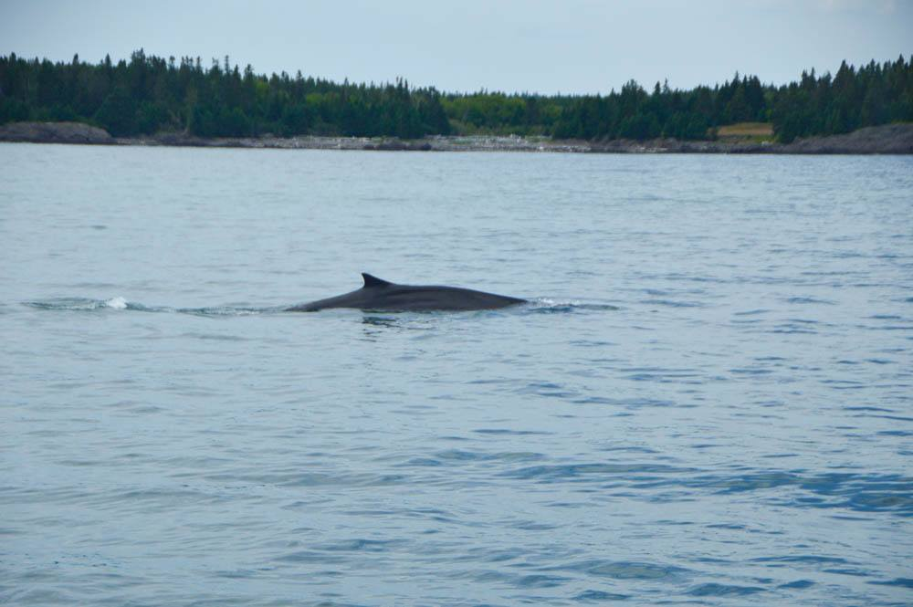 canada_new-brunswick_bay-of-fundy-whale-watching