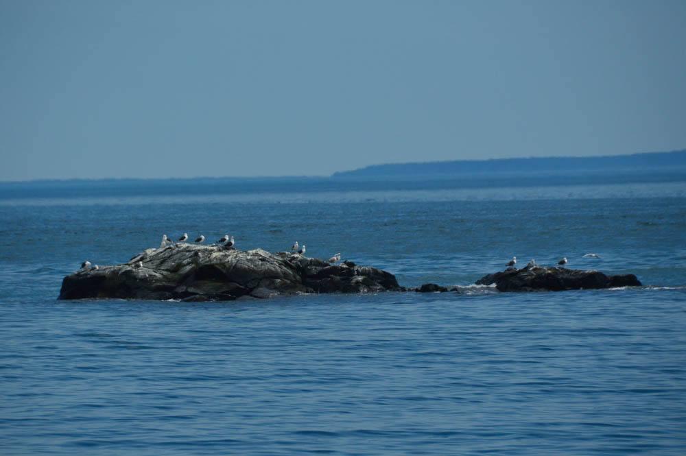 canada_new-brunswick_standrews-sea-birds