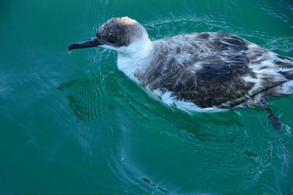 canada_new-brunswick_standrews-whale-watching-bird