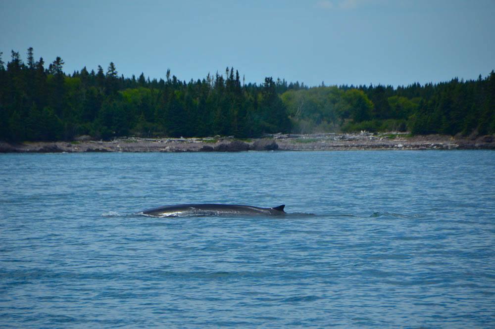 canada_new-brunswick_standrews-whale-watching-blow