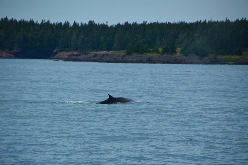 canada_new-brunswick_standrews-whale-watching-fin