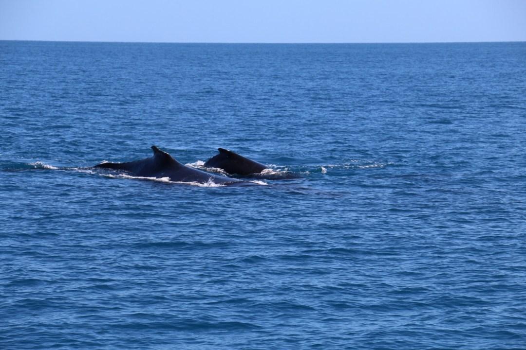 Whale Watching Hervey Bay | thebraidedgirl