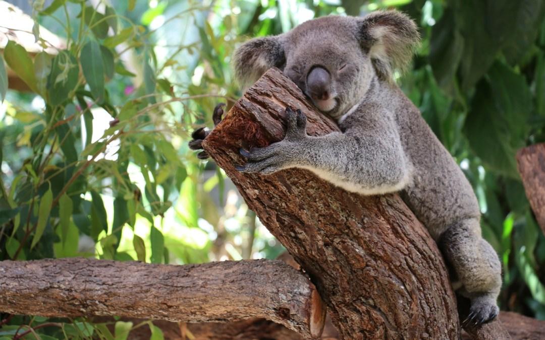 Koala Cuddles in den Kuranda Koala Gardens