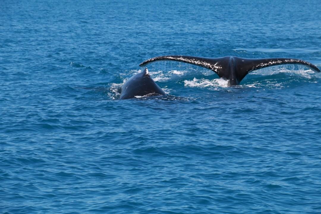whale-watching-hervey-bay-9-thebraidedgirl