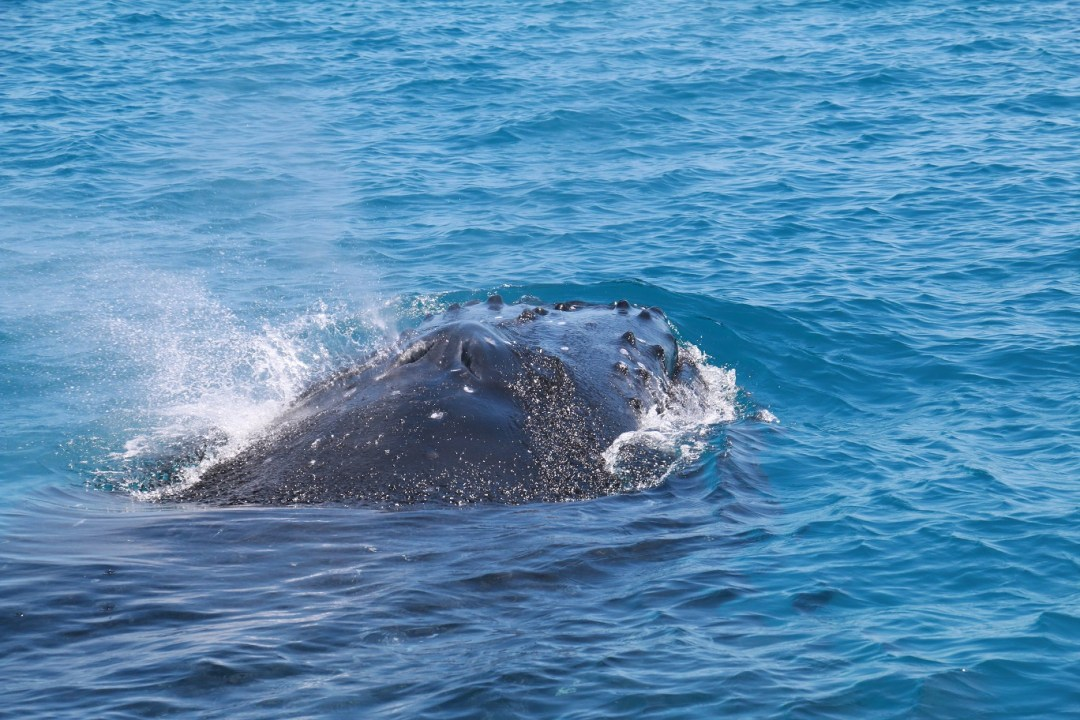 whale-watching-hervey-bay-thebraidedgirl