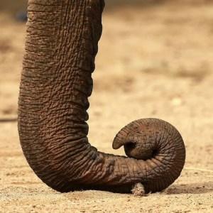 Elephant_trunk_(1)