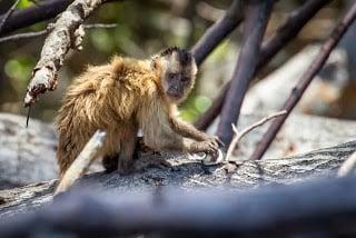 A Bearded Capuchin Monkey. Photo Credit: Bart van Dorp, via Wikipedia
