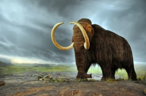 A model of a Woolly Mammoth at the Royal BC Museum in Victoria, Canada. Photo Credit: FunkMonk, via Wikipedia