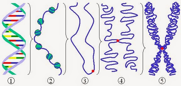 Figure 1. Zooming out from DNA (1), to DNA wrapped around histones (2), through to an entire X-shaped chromosome formed from lots of DNA wrapped around lots of histones (5). Image source: Wikimedia Commons (Author: Magnus Manske). Image used under Creative Commons License 3.0)