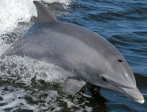 Bottlenose dolphins hesitate and waver when they are uncertain of the correct answer. Image by NASAs [Public domain], via Wikimedia Commons