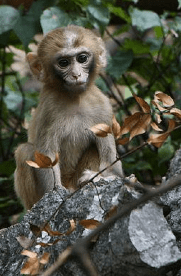 Monkeys know when they do not know. Image by Jack Hynes [CC BY-SA 2.0 (http://creativecommons.org/licenses/by-sa/2.0)], via Wikimedia Commons