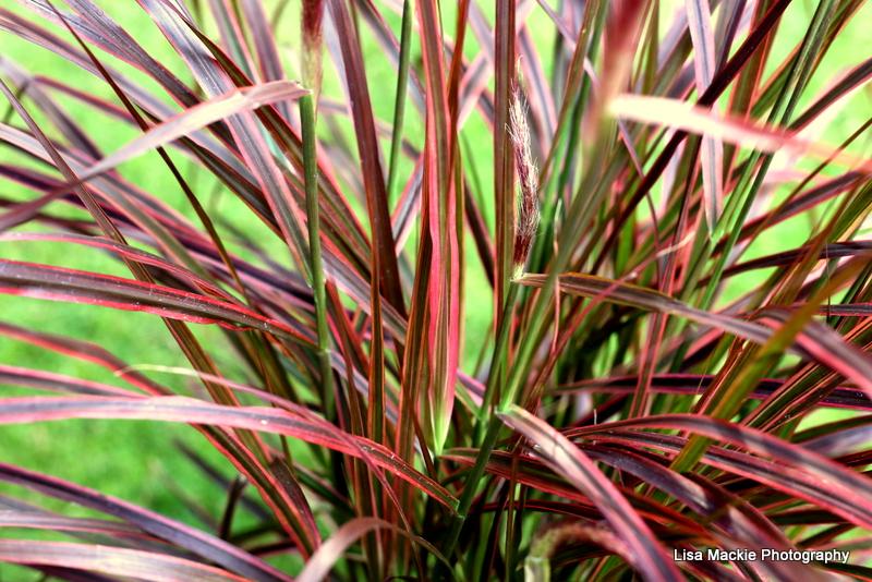 ornamental_grass