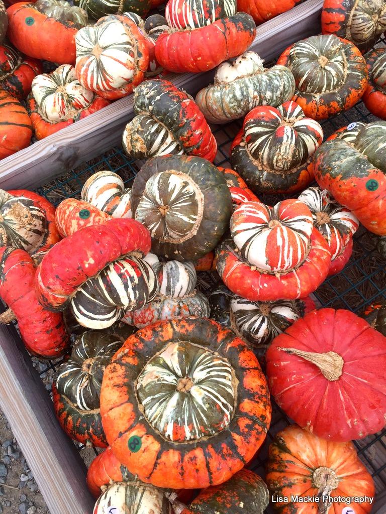 Thanksgiving_gourds