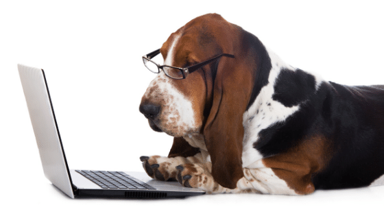 Bassett hound wearing glasses working on a laptop