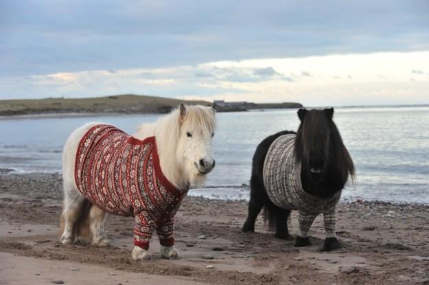 Scottish ponies of Scotland!