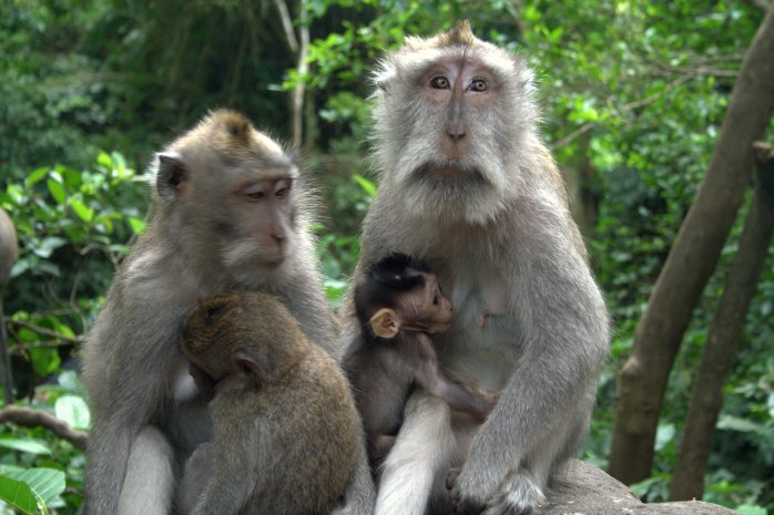 A family of monkeys in The Monkey Forest.