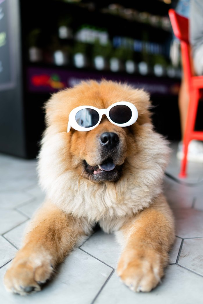 It's summer; summer; vacation; holiday; sunshine; dog; sunglasses; sunny weather; sunny; fun; funny picture