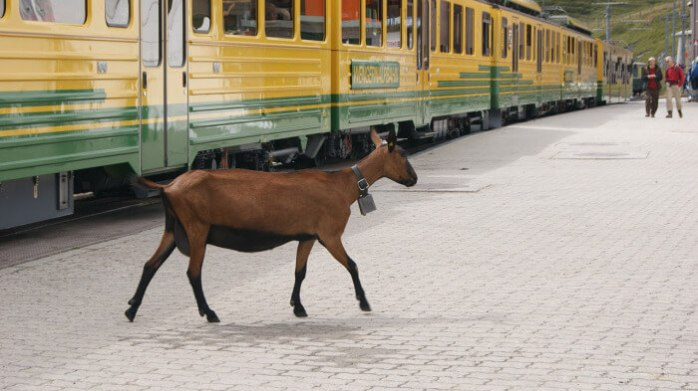 goat on the train; goat at train station; goat; animal; goat at train station; lost goat; lost animal; train; railway; transport; animals on the trains; animals at the railway station; how to use the train in Europe 2019: 10 tips to help you; how to use the train in Europe: 10 tips to help you; how to use the train in Europe; how to use the train in Europe 2019; how to use the train; how to use the European train; how to use Deutsche Bahn; how to use the European railway; how to use the railway; how to use the German train; how to use the Polish train; how to use the Hungarian train; how to use the French train; how to use the Czech train; how to use the Spanish train; how to use the UK train; how to use British trains; how to use trains in the UK; how to use trains in Britain; how to buy train tickets; how to buy train tickets on European trains; how to buy train tickets in Europe; how to get on the train; 10 tips to help you; tips to help you, a train guide; a railway guide; a European train guide; a European railway guide; taking the train in Europe; train station; station; railway; European train; train; trains in Europe; European railway; at the railway; long train journey; train travel; travel by train; travel; European; Europe;