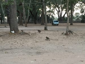The monkeys live around the Angkor Wat temple, Siem Reap