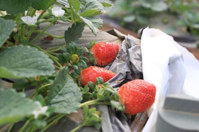 strawberry-farm-dalat-thebroadlife-travel-vietnam