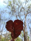 Heart-shaped leaf.