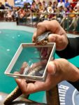 Snake's poison is abstracted at a snake show.