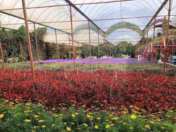 lavender garden at cameron highlands