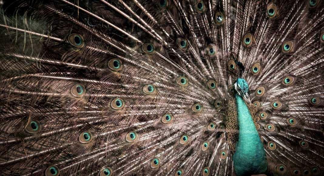 peacock at saigon zoo and botanical gardens