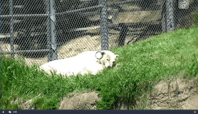 Polar Bear live-cam of the San Diego Zoo