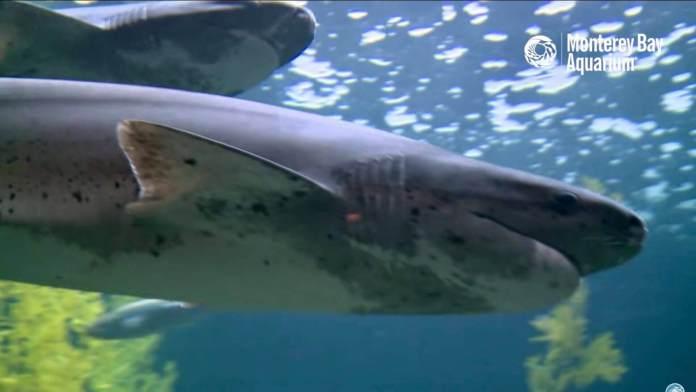 Video via the Shark Cam at Monterey Bay Aquarium