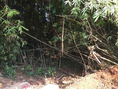 The gate made by bamboo trees