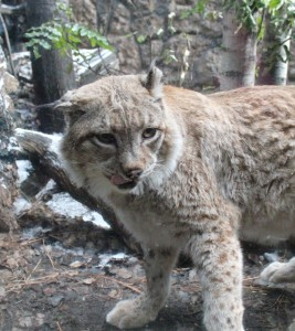 Snowshoe, a male lynx found by a hiker in northern California in 2005, is thought to have been a pet that was turned loose into the wild, according to the High Desert Museum. Photo by Anna Quesenberry The Broadside