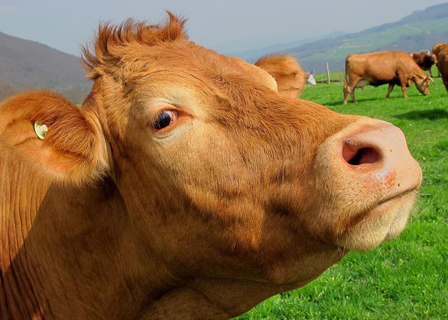 Police detail cow saga in Keswick in series of pun-filled posts