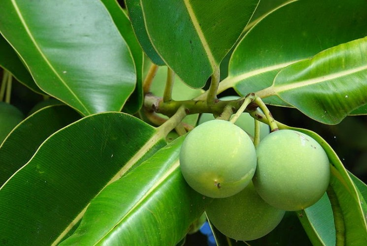 Healing Ingredient Spotlight..Tamanu Oil