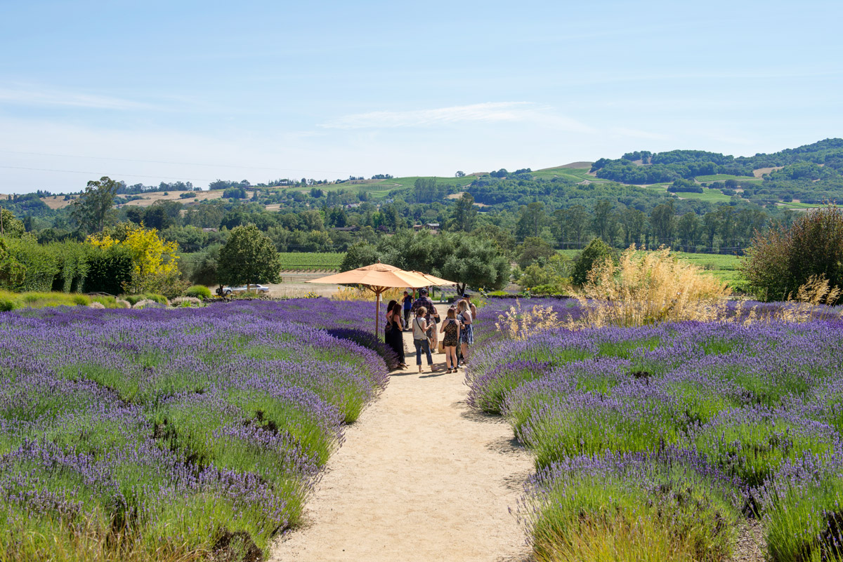 The lavender gardens at Matanzas Creek Winery