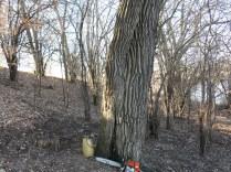 Buckthorn surround huge oak