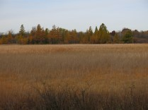 Tamaracks on the west side of the fen