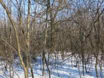 vines scale the buckthorn and get into the oak canopy where they wreak havoc