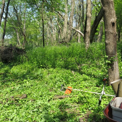 A wall of garlic mustard at the Ottawa Lake Fen SNA