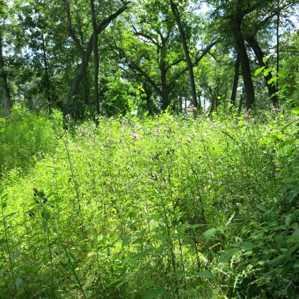 This is a thistle thicket on the cutoff trail