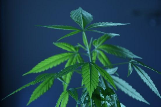 new marijuana plant week 10