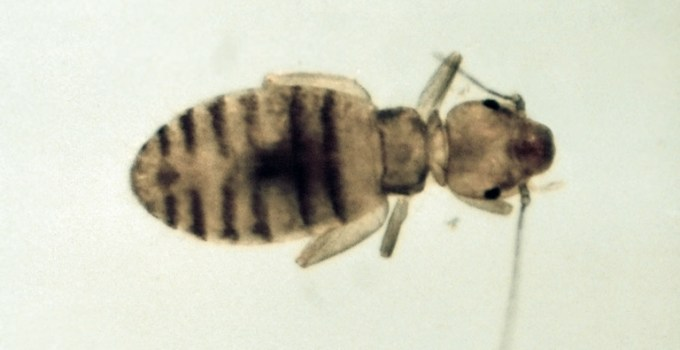 booklouse (Liposcelis corrodens)