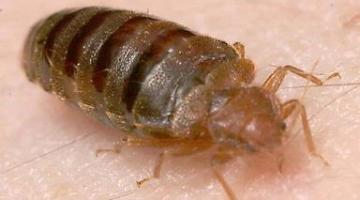 Bed bug engorged after blood meal; Feeding on an adult human